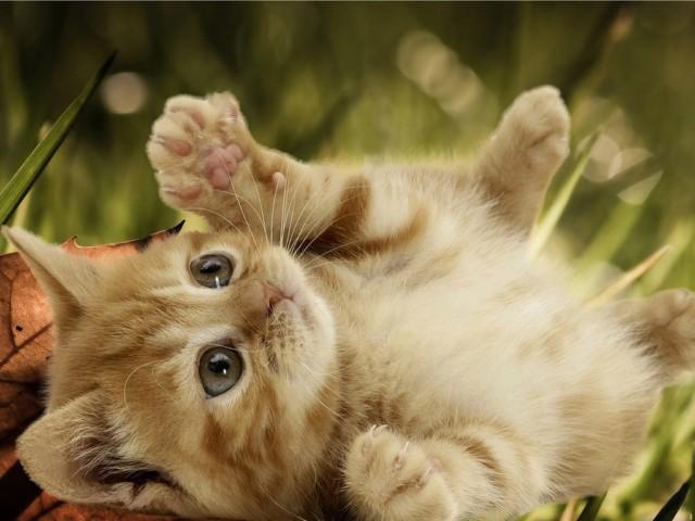 انواع گربه های مو بلند ایرانی
