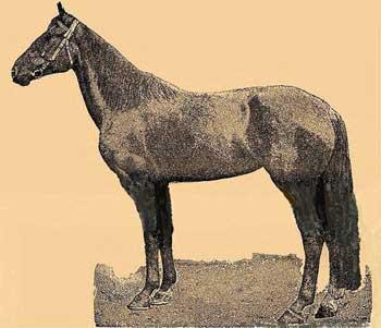 معرفی اسب نژاد استراخان