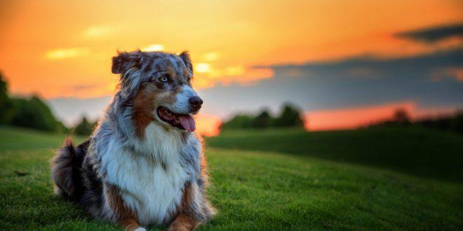 آشنایی با بیماری کرم قلب سگ HWI