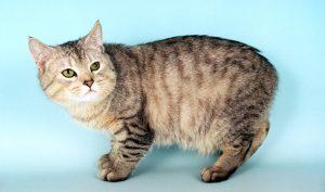 آشنایی با گربه مانکس