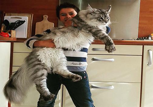 آشنایی با گربه مین کون