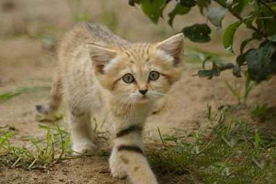 آشنایی با گربه شنی
