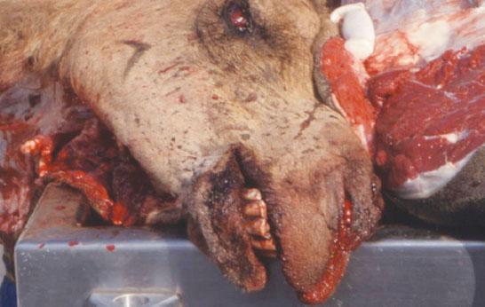 بیماری شاربن یا سیاه زخم در شتر