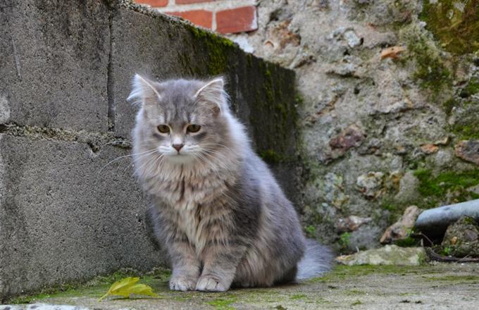 آشنایی با گربه سیبرین کت siberian cat