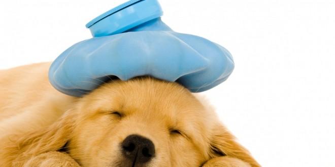بیماری تب در سگها
