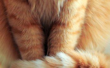همه چیزی در مورد دم گربه