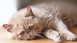 درمان و راه های پیشگیری از افسردگی گربه