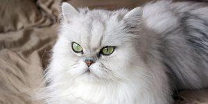 آشنایی با گربه مو بلند ایرانی