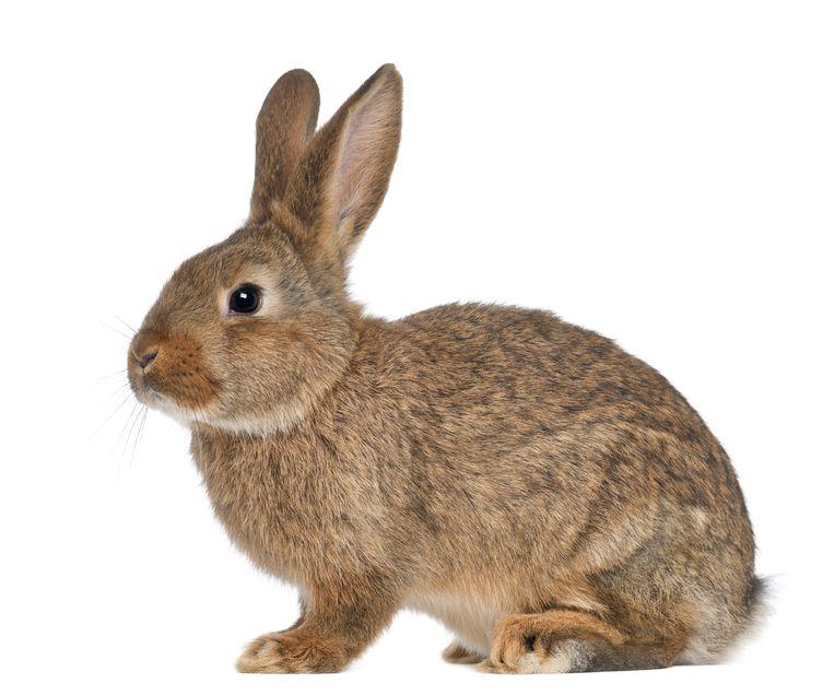 آشنایی با خصوصيات آناتوميكي خرگوش