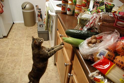 راه های دور کردن گربه از آشپزخانه