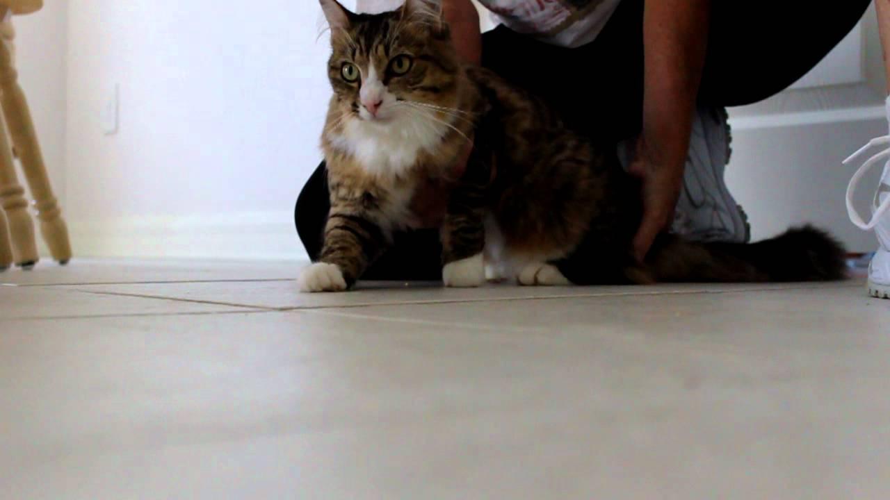 آموزش بلند کردن و نگهداشتن گربه