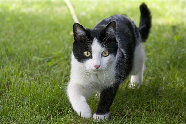 دلایل تاثیر گذار بر اهلی شدن گربه