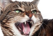 توصییه های برای دندانهای شیری گربه