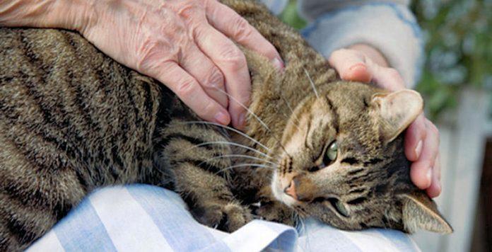 نوازش و ماساژ درمانی در گربه