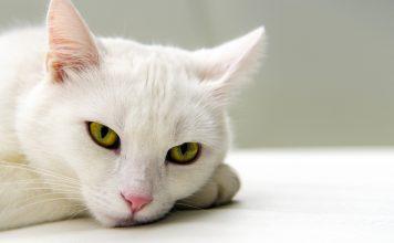 آشنایی با ناشنوایی گربه ها