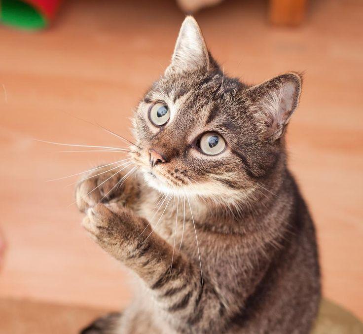 انواع رفتار جلب توجه کننده گربه