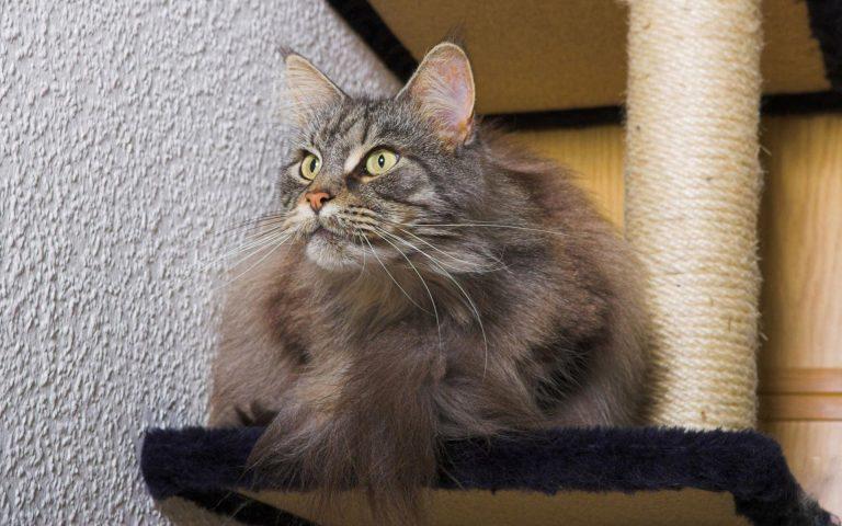 عوارض روغنی شدن دم گربه یا Stud tail
