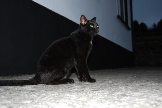 همه چیز در مورد صدا و دم گربه