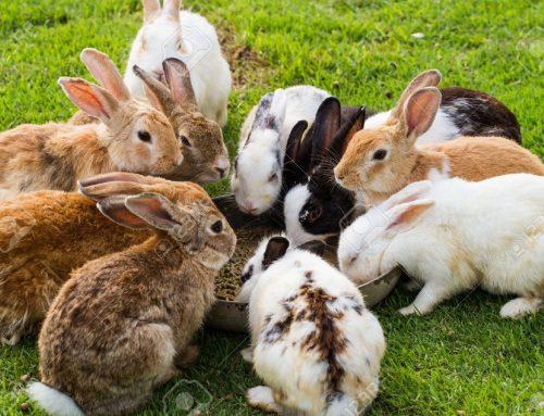 آشنایی با توليد مثل خرگوش