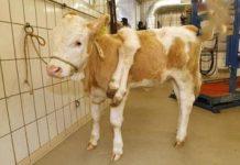 جراحی یک گاو در سوئیس + تصاویر