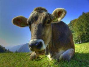 افزایش مقدار شیر گاو با پودر سبز
