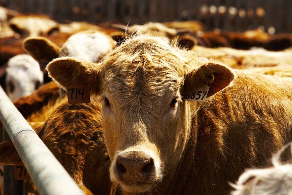 گاوها به کمک درمان ایدز آمدند