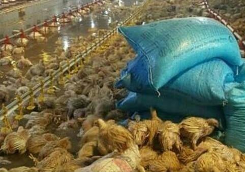 تلف شدن 30 هزار قطعه مرغ یک مرغداری در تالش به علت سیلاب و آبگرفتگی