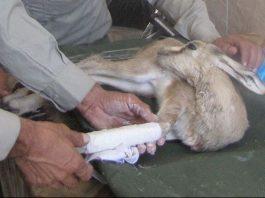 سند امداد و نجات حیات وحش تهیه و به صورت پایلوت اجرایی شود
