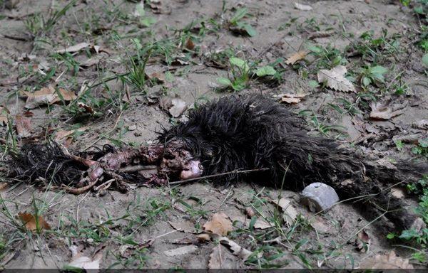 اصابت گلوله چهارپاره علت عصبانیت خرس خشمگین قهوه ای کلاله بود