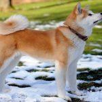 سگ آتیکا