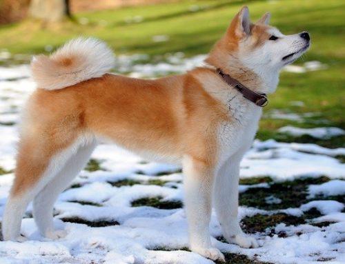 درباره سگ آکیتا و تاریخچه و پیشینه و نژادهای معروف این سگ