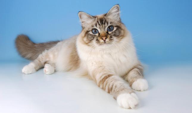 آشنایی کامل با گربه نژاد بیرمن و ویژگی های ظاهری و تاریخچه آن