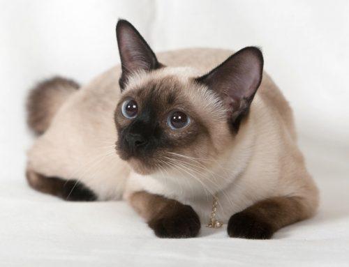 آشنایی کامل با گربه سیامی و مشخصات ظاهری این گربه